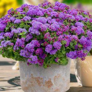 Агератум Пурпурный букет