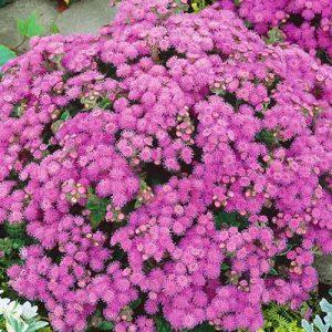 Агератум Розовое облачко