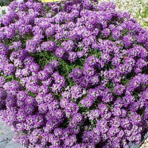 Алиссум Фиолетовая королева