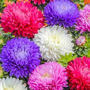 Астра Баллон разноцветный