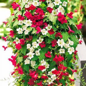 Азарина Мексиканская красавица