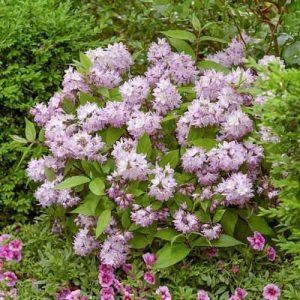 Дейция пурпурная Калмифлора