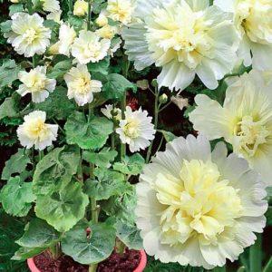 Шток-роза мини Наутилус Лемон