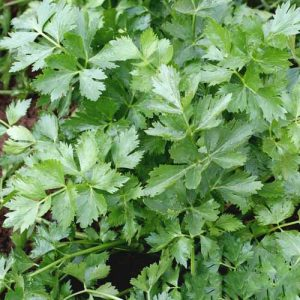 Петрушка листовая Нежный аромат
