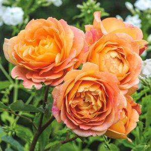 Роза английская Леди оф Шалот