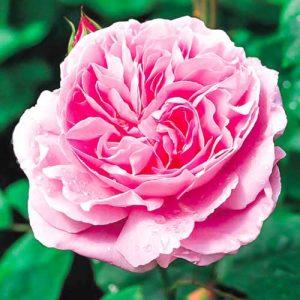 Роза английская Мэри Роуз