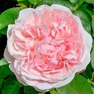 Роза английская Сант Свизан