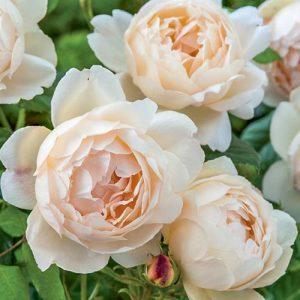 Роза английская Воллертон Олд Холл