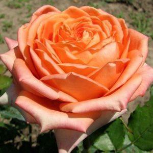 Роза чайно-гибридная Эльдорадо