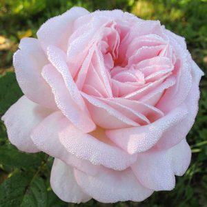 Роза чайно-гибридная Эмейзинг Грейс