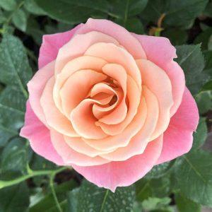 Роза чайно-гибридная Мисс Пигги