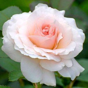 Роза чайно-гибридная Сильвия