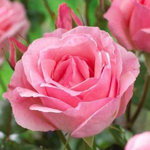 Роза чайно-гибридная Вайт Квин Элизабет