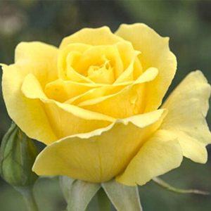 Роза чайно-гибридная Йеллоу Квин Элизабет