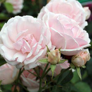 Роза флорибунда Баллада