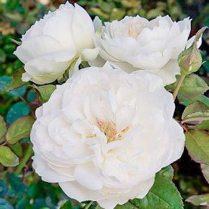 Роза флорибунда Болеро