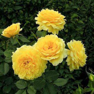 Роза флорибунда Чайна Герл