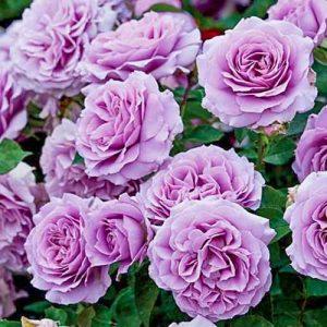 Роза флорибунда Лав Сонг