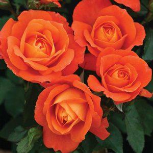 Роза флорибунда Супер Трупер