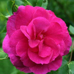 Роза канадская Капитан Самуэль Холланд