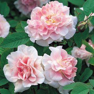 Роза канадская Мартин Фробишер