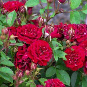 Роза канадская Морден Аморетте