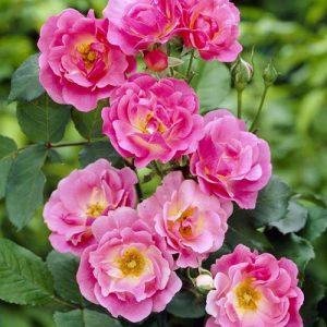 Роза канадская Вильям Баффин