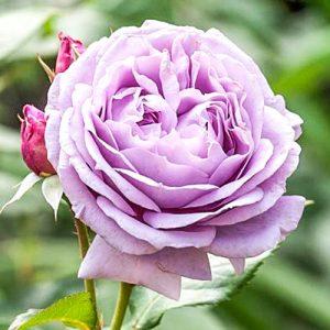 Роза чайно-гибридная Новалис