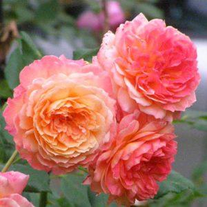 Роза парковая АндреТюрка