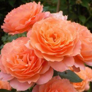 Роза парковая Бельведер