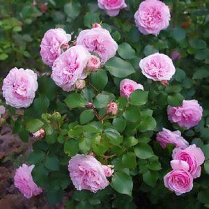Роза парковая Дитер Мюллер
