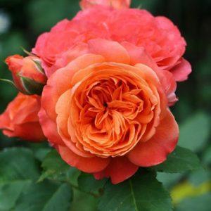 Роза парковая Эмильен Гийо