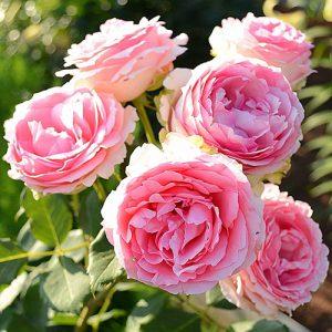 Роза парковая Ферст Леди
