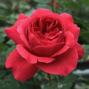 Роза парковая Рубан Руж