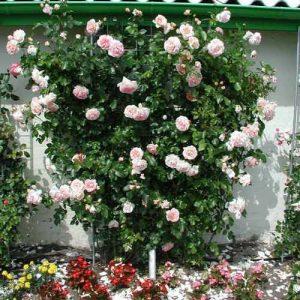 Роза плетистая Амаретто