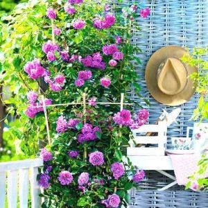 Роза плетистая Блю Мунн