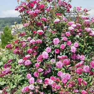 Роза плетистая Жасмина