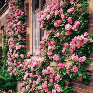 Роза плетистая Корал Доун