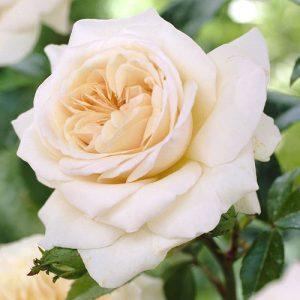 Роза плетистая Пенни Лейн