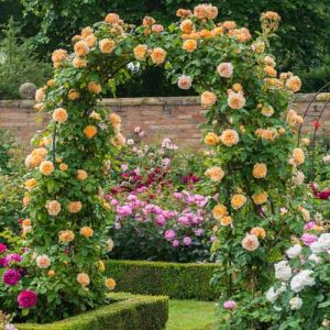 Роза плетистая Принцесса Маргарет