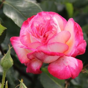 Роза плетистая Рина Хернолд