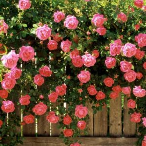 Роза плетистая Розовая жемчужина
