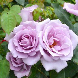 Роза плетистая Си-Си