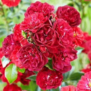 Роза почвопокровная Фейри Данс