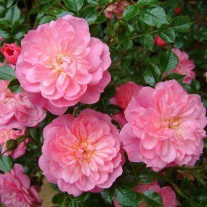 Роза почвопокровная Пинк Беллс