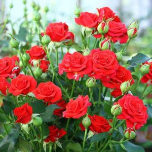 Роза спрей Ред Микадо