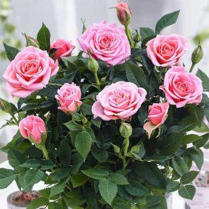 Роза спрей Виктория