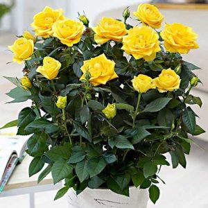 Роза спрей Йеллоу Стар