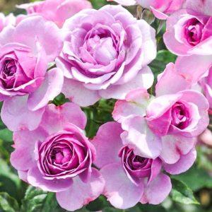 Роза флорибунда Пинк Диадем