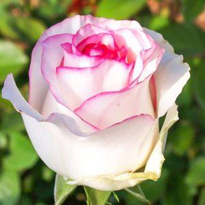 Роза чайно-гибридная Дольче Вита